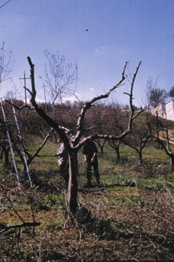 Pianta con branche di 3° e 2° ordine danneggiate, rilevabile dall'imbrunimento della zona sotto la corteccia, ricostituita sulle branche principali che risultano sane.